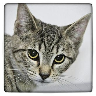 Domestic Shorthair Kitten for adoption in Salem, Massachusetts - Monkey