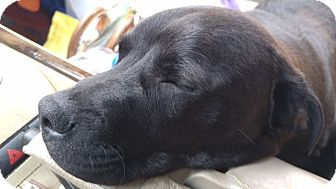 Labrador Retriever Mix Puppy for adoption in Brattleboro, Vermont - Mike