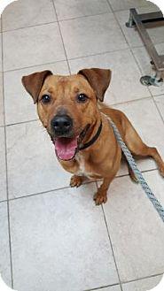 Hound (Unknown Type)/Labrador Retriever Mix Dog for adoption in Reisterstown, Maryland - Farrah