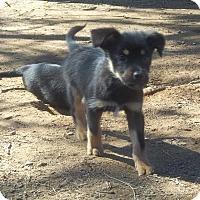 Adopt A Pet :: Taffy meet me 3/10 - Manchester, CT