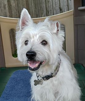 Westie, West Highland White Terrier Dog for adoption in Dallas, Texas - Max