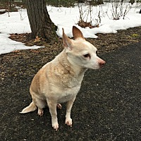 Chihuahua Mix Dog for adoption in Kunkletown, Pennsylvania - Fu