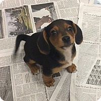 Adopt A Pet :: Nani - Baltimore, MD