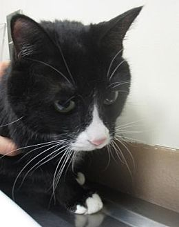 Domestic Mediumhair Cat for adoption in Reno, Nevada - Zayla