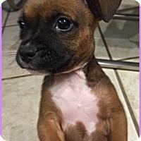 Adopt A Pet :: Abby Pup (Jen Foster) - Homestead, FL