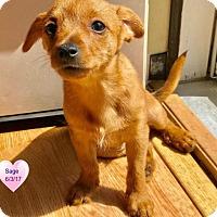 Adopt A Pet :: Sage - Delaware, OH