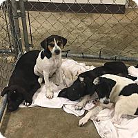 Adopt A Pet :: Pups - Decatur, IN