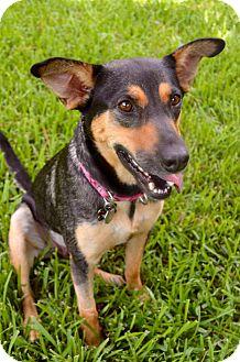 Shepherd (Unknown Type)/Terrier (Unknown Type, Medium) Mix Dog for adoption in Houston, Texas - GABBY