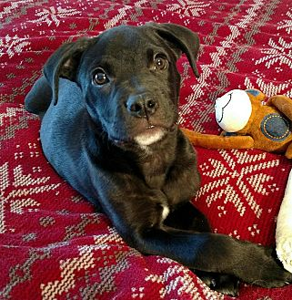 Labrador Retriever/Mixed Breed (Large) Mix Puppy for adoption in FOSTER, Rhode Island - Duncan