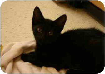 Domestic Shorthair Kitten for adoption in Jenkintown, Pennsylvania - Licorice