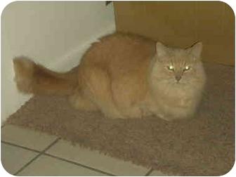 Domestic Mediumhair Cat for adoption in Washington Terrace, Utah - Crooksie