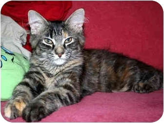 Domestic Longhair Kitten for adoption in Byron Center, Michigan - Leia