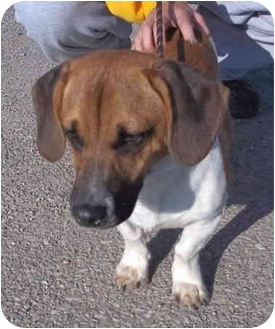 Beagle/Basset Hound Mix Dog for adoption in Metamora, Indiana - Gru