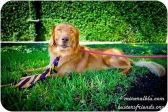 Golden Retriever Mix Dog for adoption in Houston, Texas - Rocky