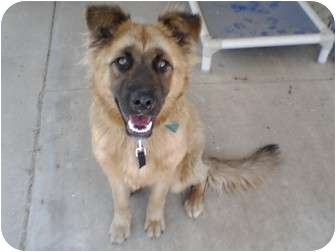 Chow Chow/German Shepherd Dog Mix Puppy for adoption in Gardena, California - Teddy