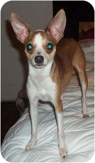 Chihuahua Mix Dog for adoption in Spring Valley, New York - Glory