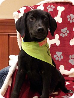 Labrador Retriever Mix Puppy for adoption in Orland Park, Illinois - Lab mix MALE