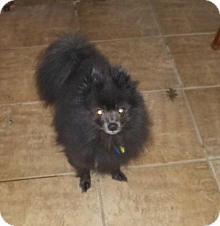 Pomeranian Dog for adoption in conroe, Texas - AMMO