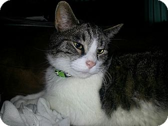 Domestic Shorthair Cat for adoption in Fairborn, Ohio - Shadow-Courtesy Post
