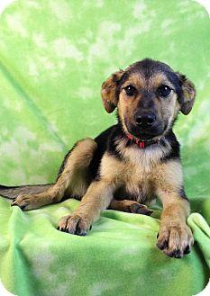 German Shepherd Dog Mix Puppy for adoption in Westminster, Colorado - Baja
