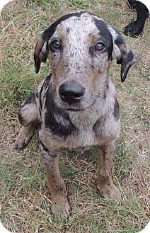 Bullmastiff/Catahoula Leopard Dog Mix Puppy for adoption in Hammond, Louisiana - Happy