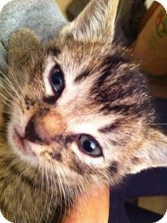 Domestic Shorthair Kitten for adoption in Warren, Michigan - Wooly