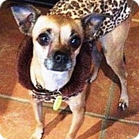 Adopt A Pet :: Shiloh - Gilbert, AZ