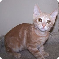 Adopt A Pet :: K-Amelia3-Nikko - Colorado Springs, CO
