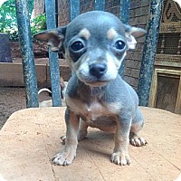 Adopt A Pet :: Chi pup2 - hartford, CT