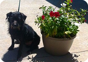 Terrier (Unknown Type, Small) Dog for adoption in Princeton, Kentucky - Diesel