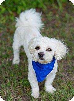 Havanese/Shih Tzu Mix Dog for adoption in Glastonbury, Connecticut - Garcon