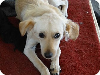 Golden Retriever/Whippet Mix Puppy for adoption in Inland Empire, California - DOROTHY