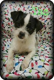 Shih Tzu/Chihuahua Mix Dog for adoption in Walker, Louisiana - Taz