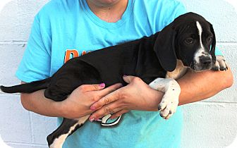 Pointer/Black and Tan Coonhound Mix Puppy for adoption in Starkville, Mississippi - Charlotte