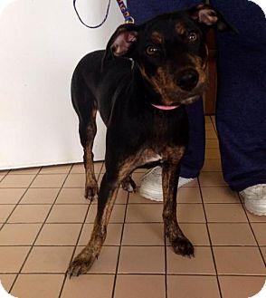 Doberman Pinscher Puppy for adoption in Newburgh, Indiana - Missy