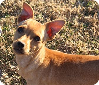 Chihuahua/Terrier (Unknown Type, Small) Mix Puppy for adoption in Henderson, Nevada - Franklin