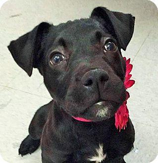 Labrador Retriever/Boxer Mix Puppy for adoption in Umatilla, Florida - Presley