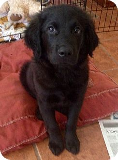 Labrador Retriever Mix Puppy for adoption in Santa Ana, California - Sheldon (BH)
