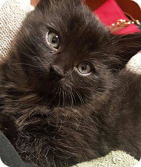 Domestic Longhair Kitten for adoption in Santee, California - Leo