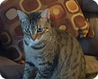 Domestic Shorthair Cat for adoption in Alamo, California - Riley