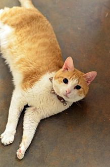 Domestic Shorthair Cat for adoption in Atlanta, Georgia - Tigger150428