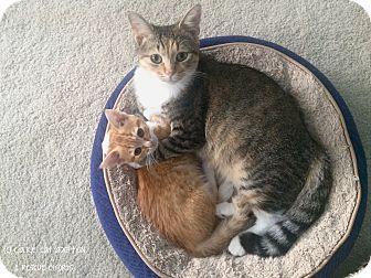 Domestic Shorthair Kitten for adoption in Richmond, Virginia - Splash