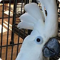 Adopt A Pet :: Blue - Punta Gorda, FL