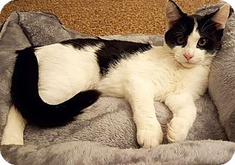 Domestic Mediumhair Cat for adoption in Concord, North Carolina - Patty