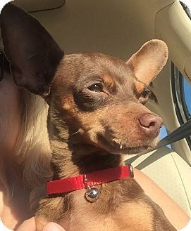 Miniature Pinscher/Chihuahua Mix Dog for adoption in San Marcos, California - Dory
