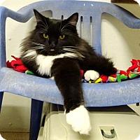 Adopt A Pet :: Nibbles - Belleville, MI