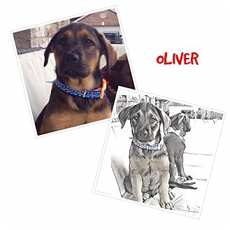 Labrador Retriever Mix Puppy for adoption in Fort Atkinson, Wisconsin - Oliver