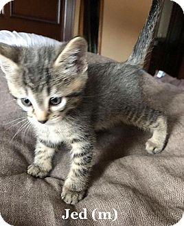 Domestic Shorthair Kitten for adoption in Bentonville, Arkansas - Jed