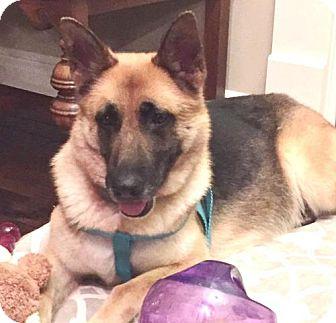 German Shepherd Dog Dog for adoption in Kansas City, Missouri - Dixie