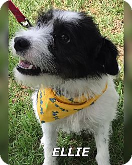 Terrier (Unknown Type, Small) Mix Dog for adoption in Sarasota, Florida - Ellie
